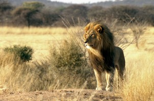 Lion terre sauvage